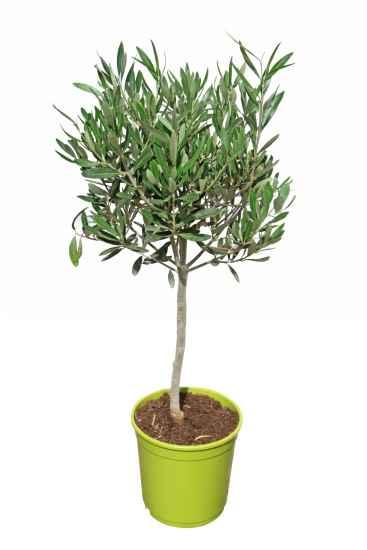 m ller m nchehof pflanzen gmbh pflanzen f r forst landschaft und garten olivenbaum halbstamm. Black Bedroom Furniture Sets. Home Design Ideas