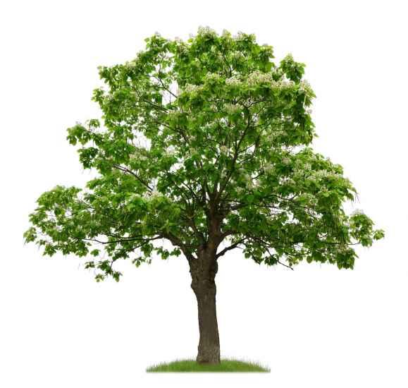 trompetenbaum katalpa zigarrenbaum bohnenbaum catalpa. Black Bedroom Furniture Sets. Home Design Ideas