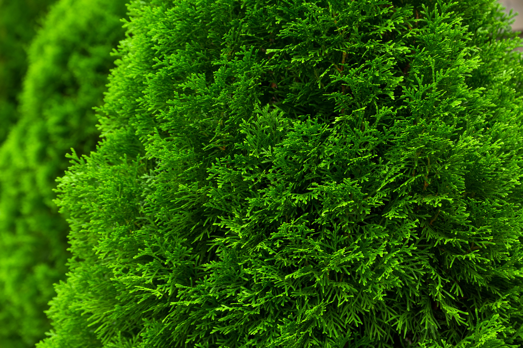 m ller m nchehof pflanzen gmbh pflanzen f r forst landschaft und garten thuja smaragd. Black Bedroom Furniture Sets. Home Design Ideas