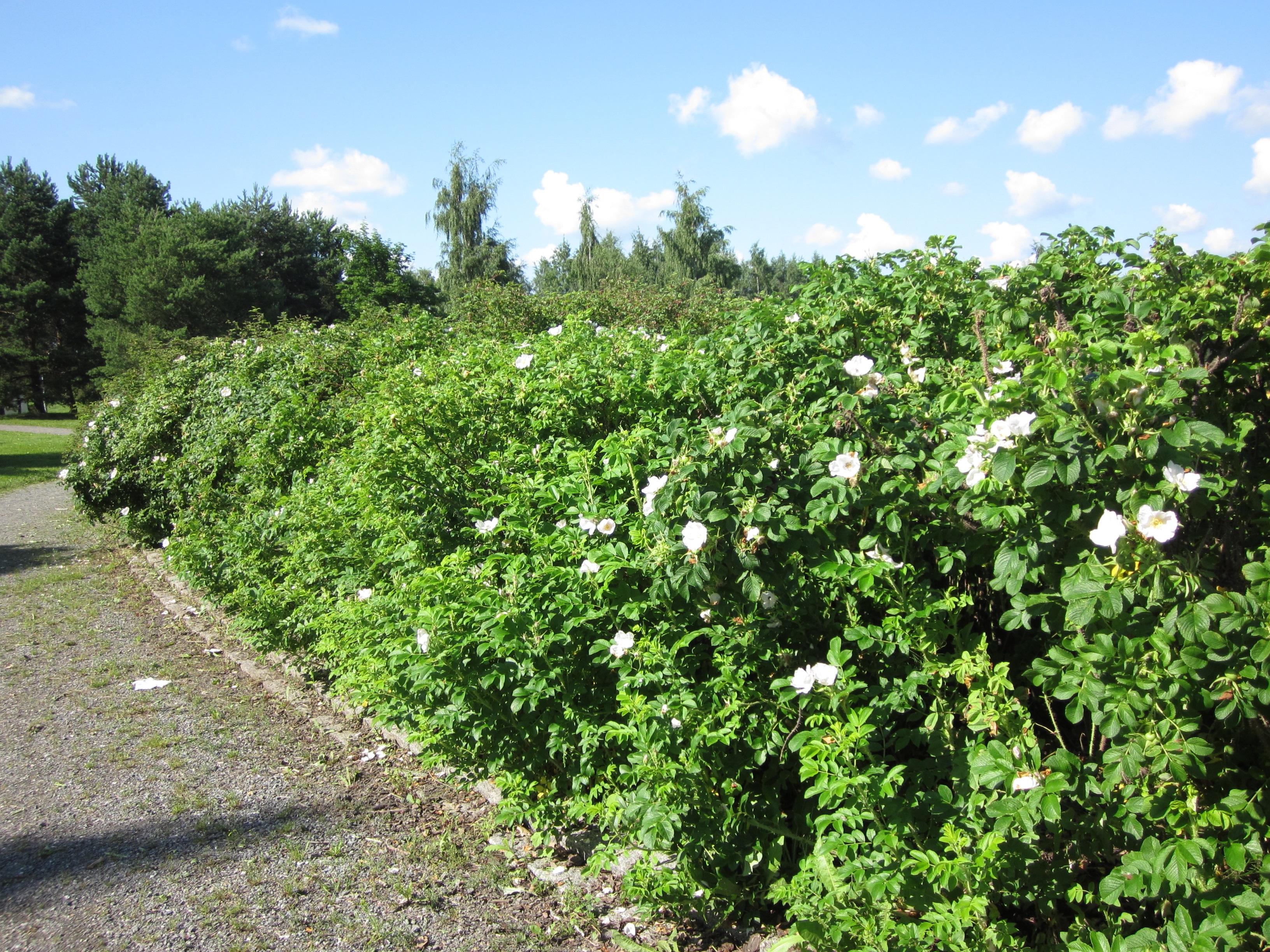 Wildgehölze Container Weiße Apfel-Rose im Topf