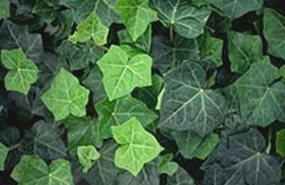 M ller m nchehof pflanzen gmbh pflanzen f r forst - Efeu zimmerpflanze giftig ...