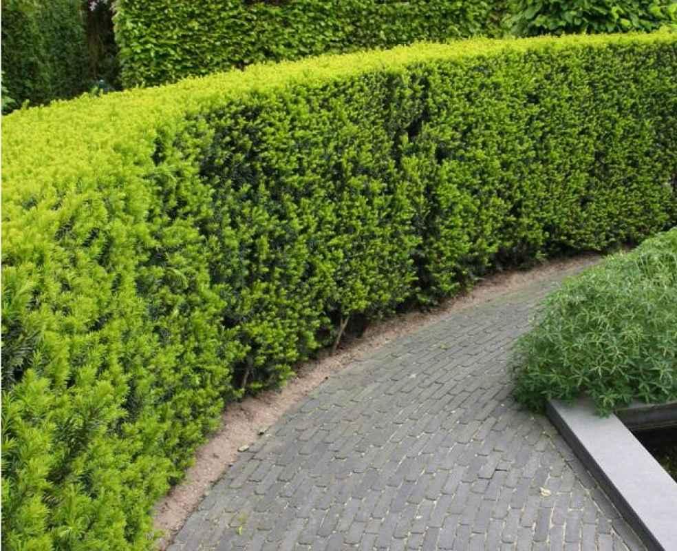 m ller m nchehof pflanzen gmbh pflanzen f r forst landschaft und garten 25 st ck becher. Black Bedroom Furniture Sets. Home Design Ideas