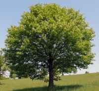 Esche im 10er Bündel Baum des Jahres 2001